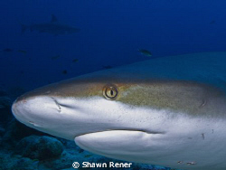 Caribbean Reef Shark (Carcharhinus perezi)       